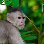 Kappucijnaap in Amazone regenwoud