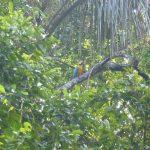 Blauwe ara in Cuyabeno Amazone reservaat