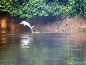 Roze zoetwater dolfijn in Cuyabeno Amazone wildlife reservaat