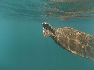 Zeeschildpad Galapagos Wildlife Ecuador