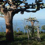 Cactusbomen op de Galapagos Eilanden