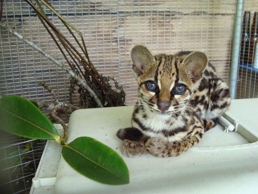 Margay wilde kat in Merazonia #ecuadorrondreizen vrijwilligerswerk