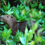 Capybare in het regenwoud
