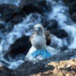 Blue footed Booby of jan van gent op de Galapagos Eilanden in Ecuador