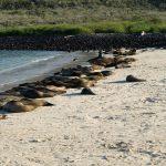 Zeeleeuwen op het strand in Ecuador