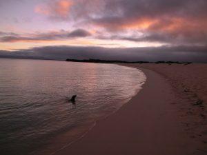 Zeeleeuw bij zonsondergang op de Galapagos Eilanden en reizen
