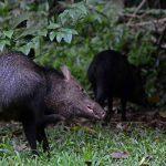 Wilde zwijnen in het regenwoud