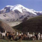 Chimborazo Llamas trektocht