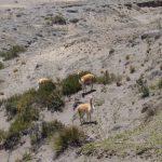 Vicuñas in Andes Ecuador