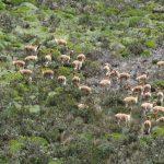 Vicuñas in Ecuador